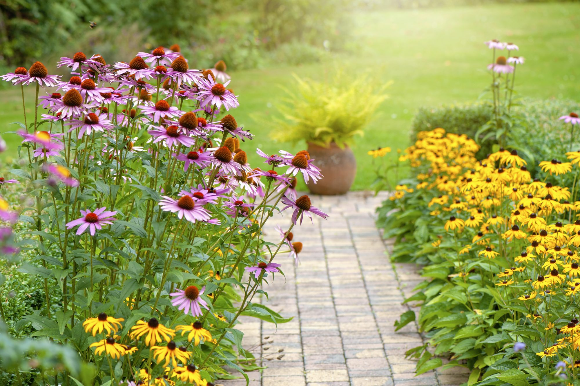 summer garden flower border with Echinacea purpurea, Rudbeckia yellow coneflowers