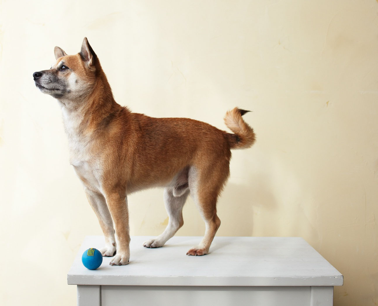 Shiba Inu on a veterinarian's table