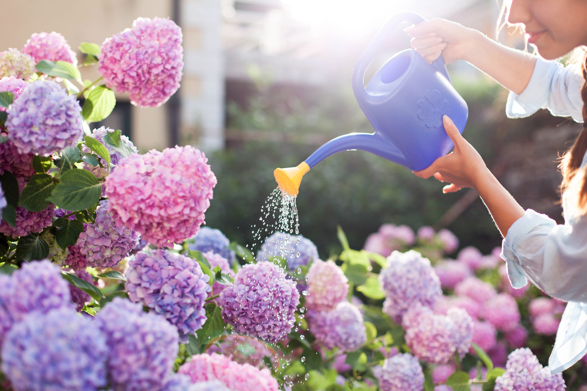 woman watering hydrangeas with purple watering can