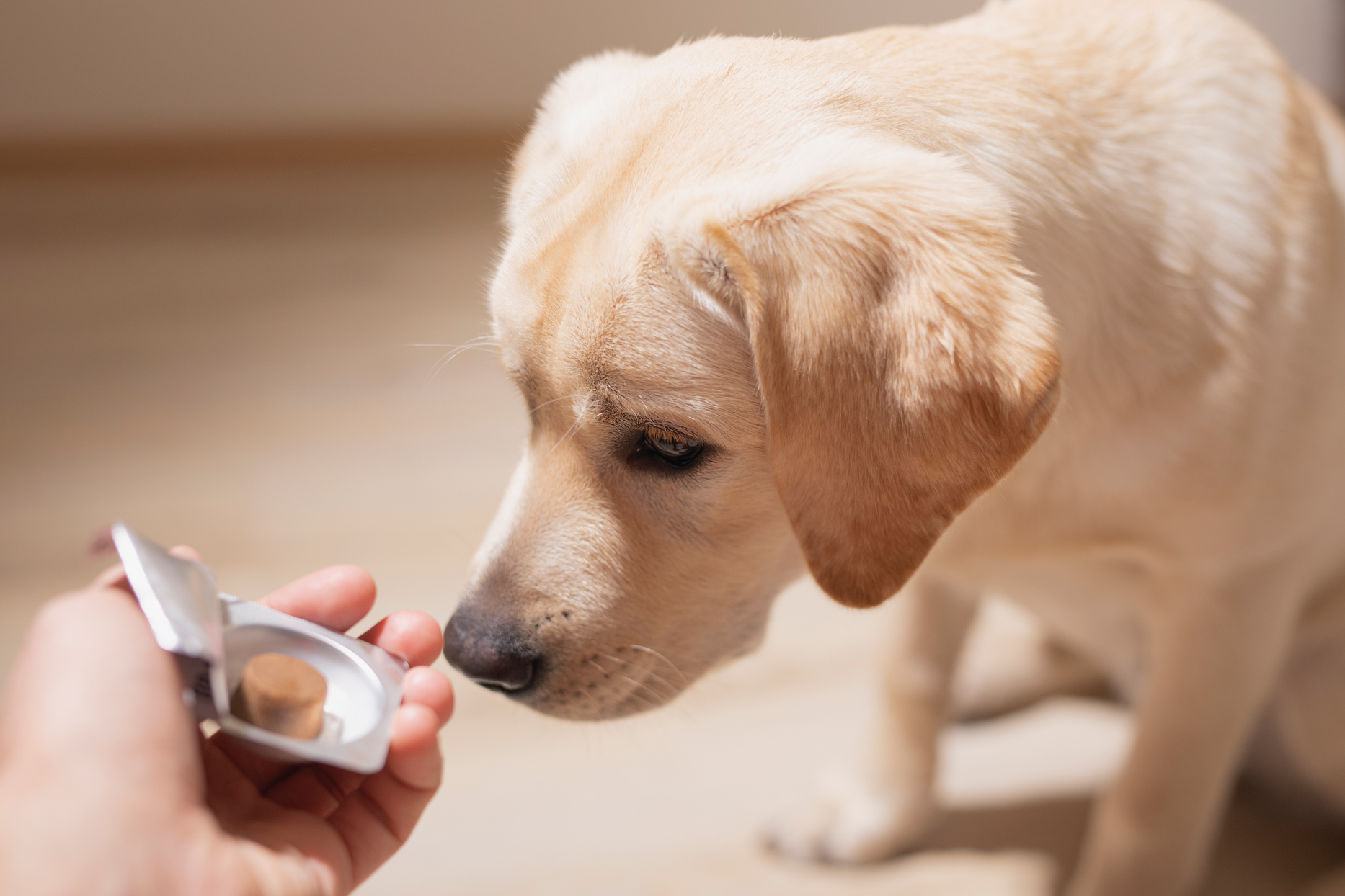 yellow lab sniffing pet supplement in person's hand