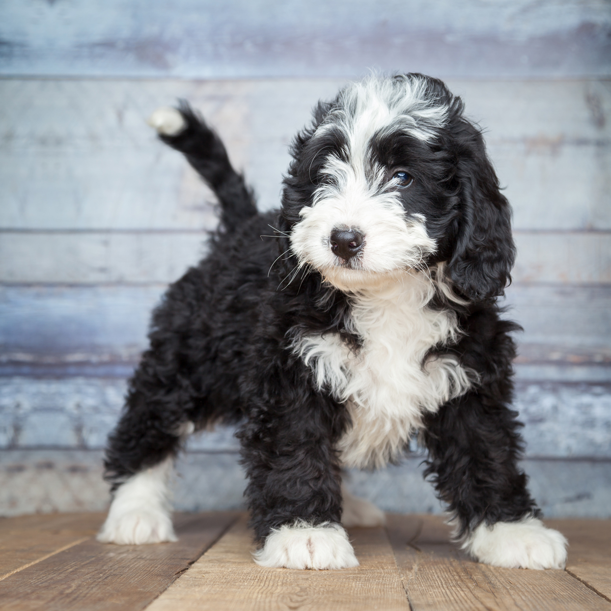 black and white bernedoodle puppy