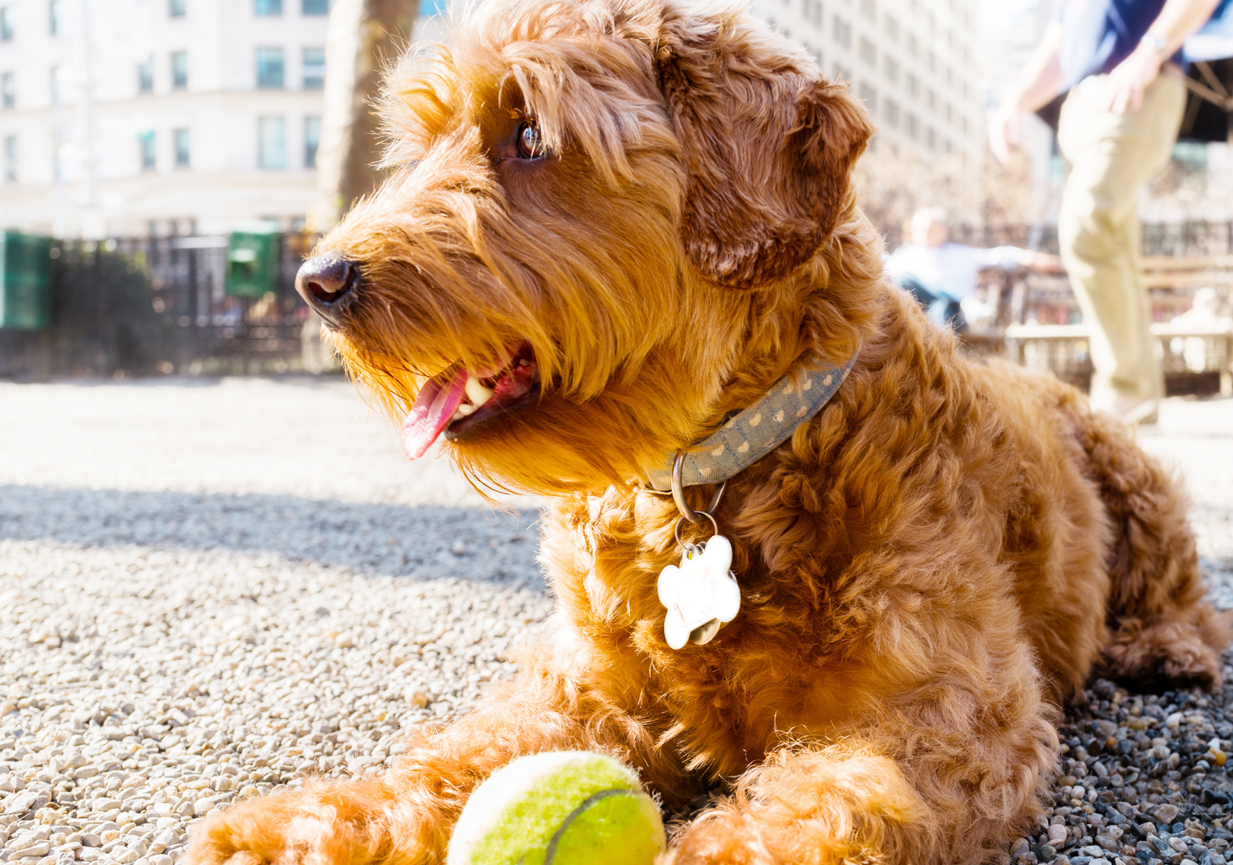 goldendoodle laying on ground with tennis ball