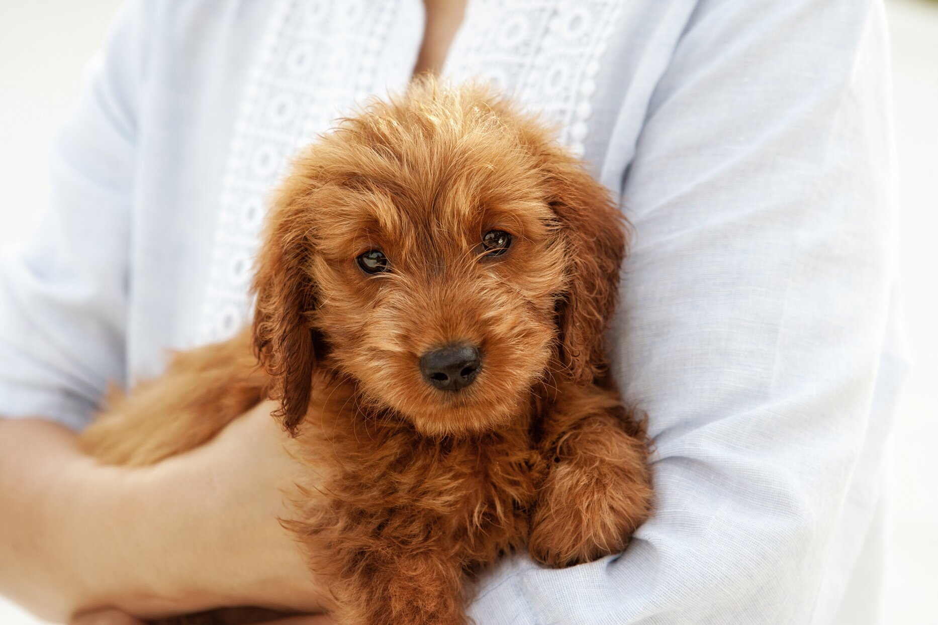 A Guide To Poodle Mixes And Doodle Dogs Martha Stewart