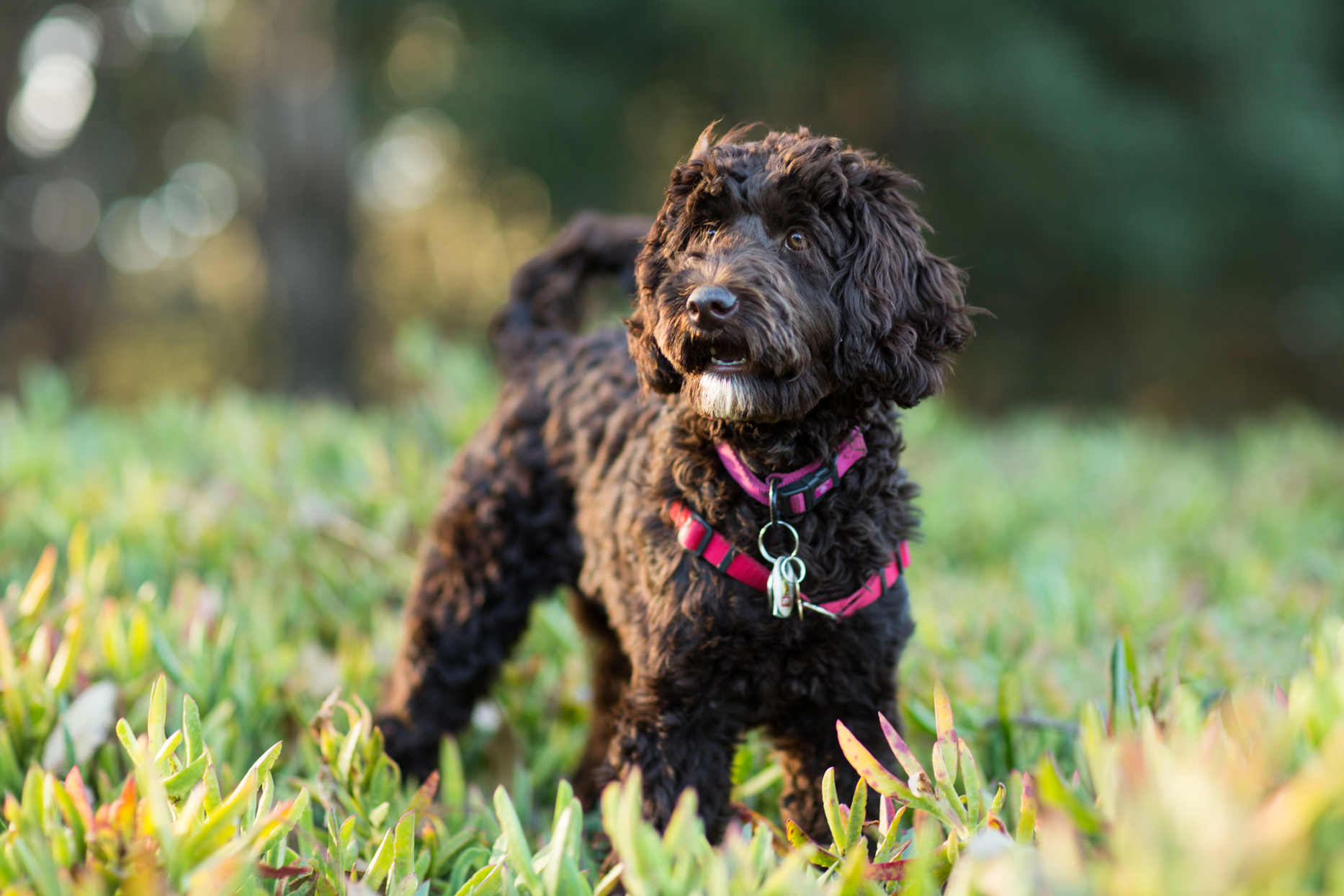 black labradoodle with harness outside