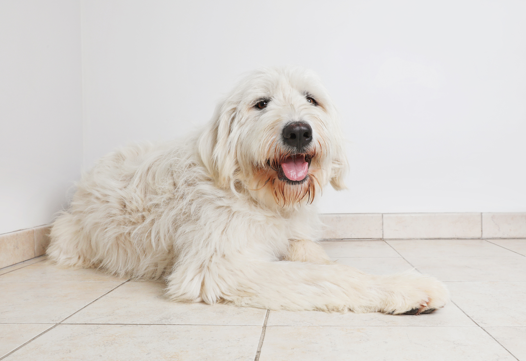 white pyredoodle laying on tile floor inside