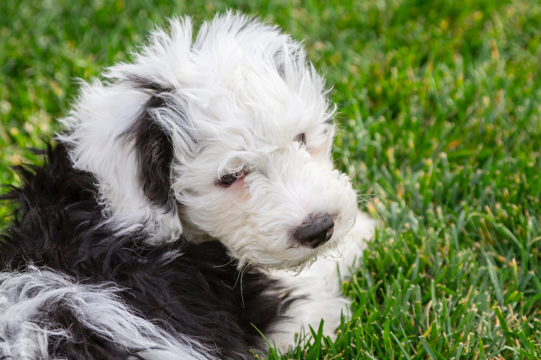 black and white sheepadoodle laying in grass