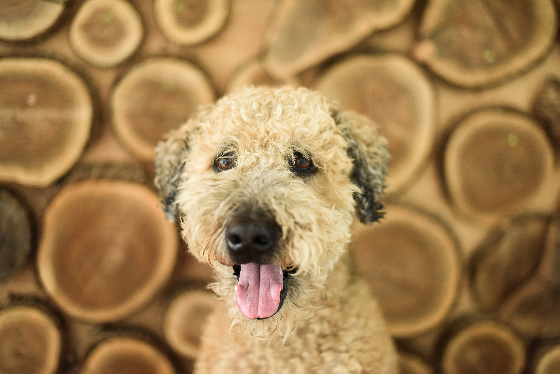 tan whoodle in front of wood background