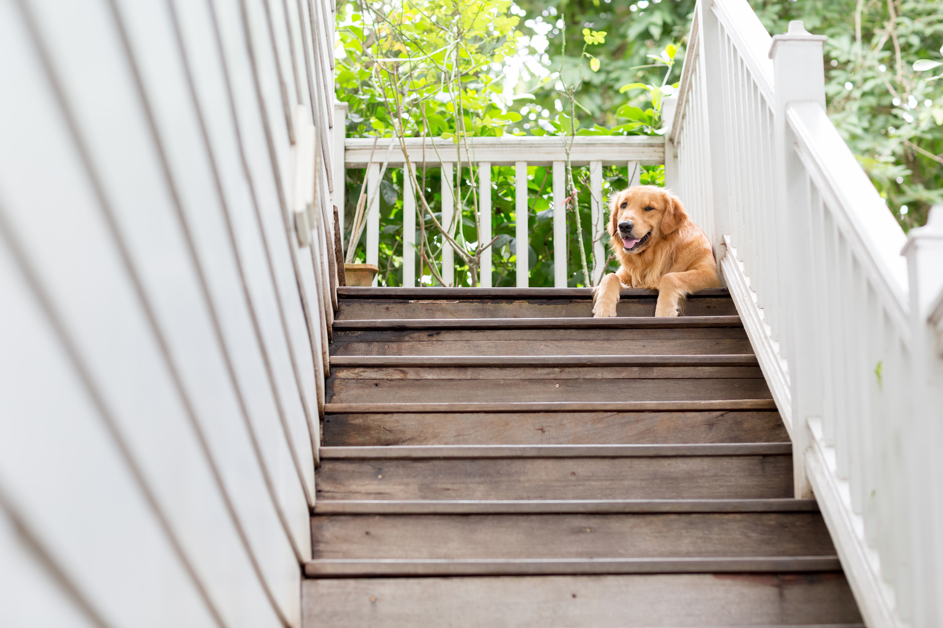 golden retriever laying at the top of outdoor wooden stairway