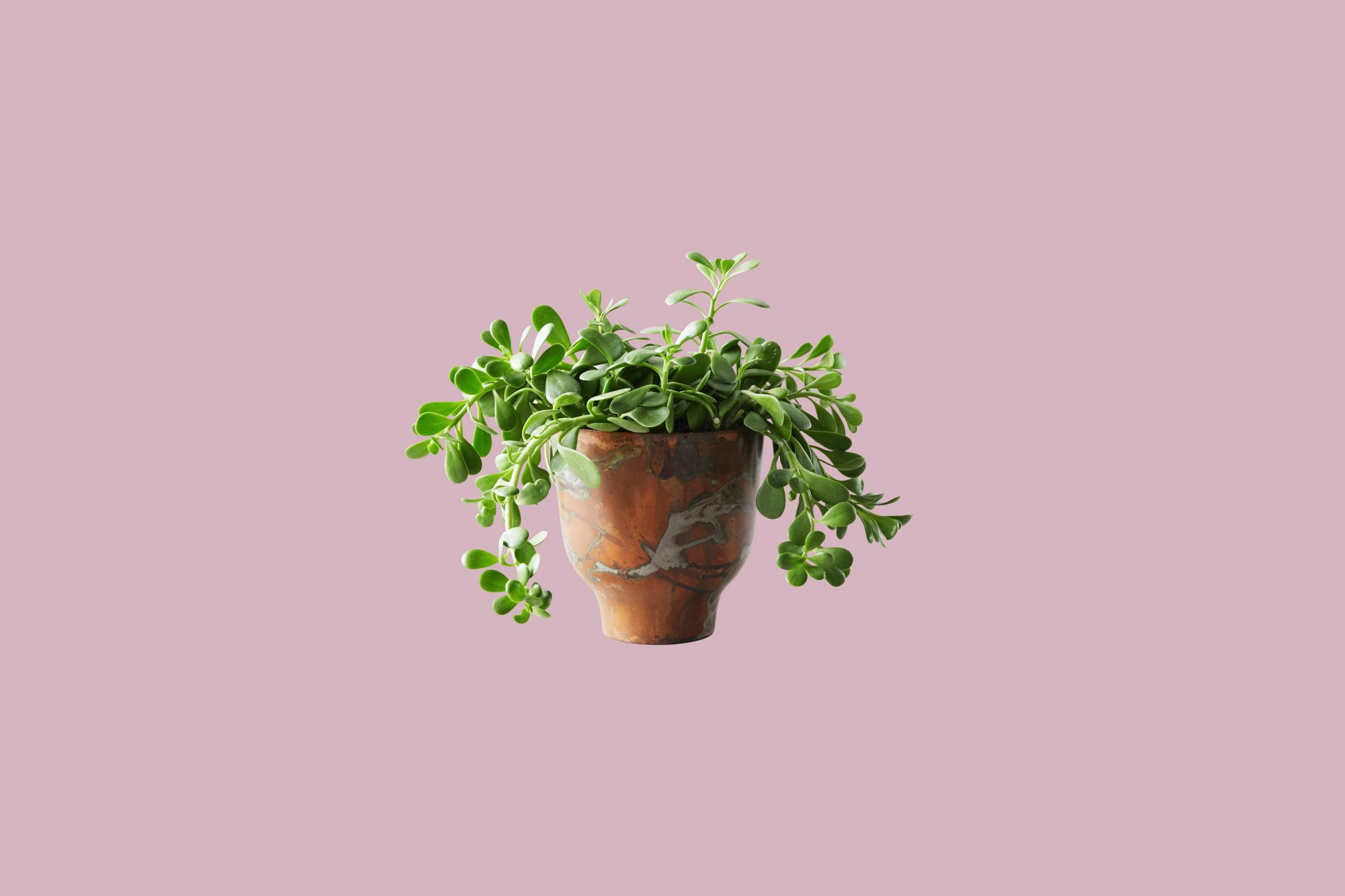 trailing jade plant and copper pot