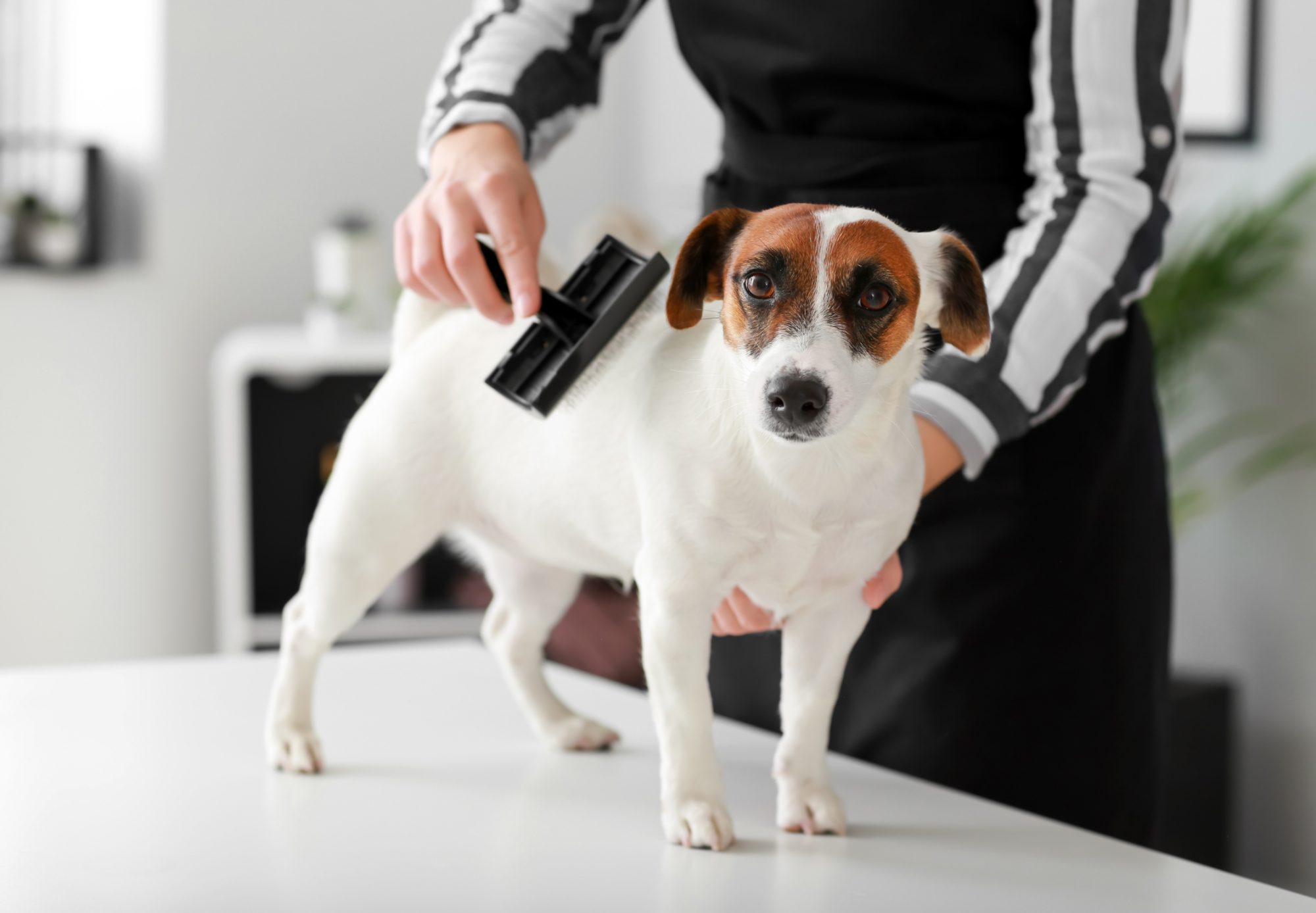 person with brush grooming small terrier dog