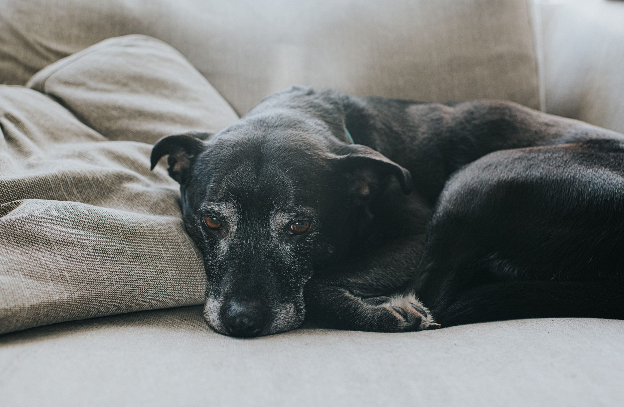 elderly dog resting on couch