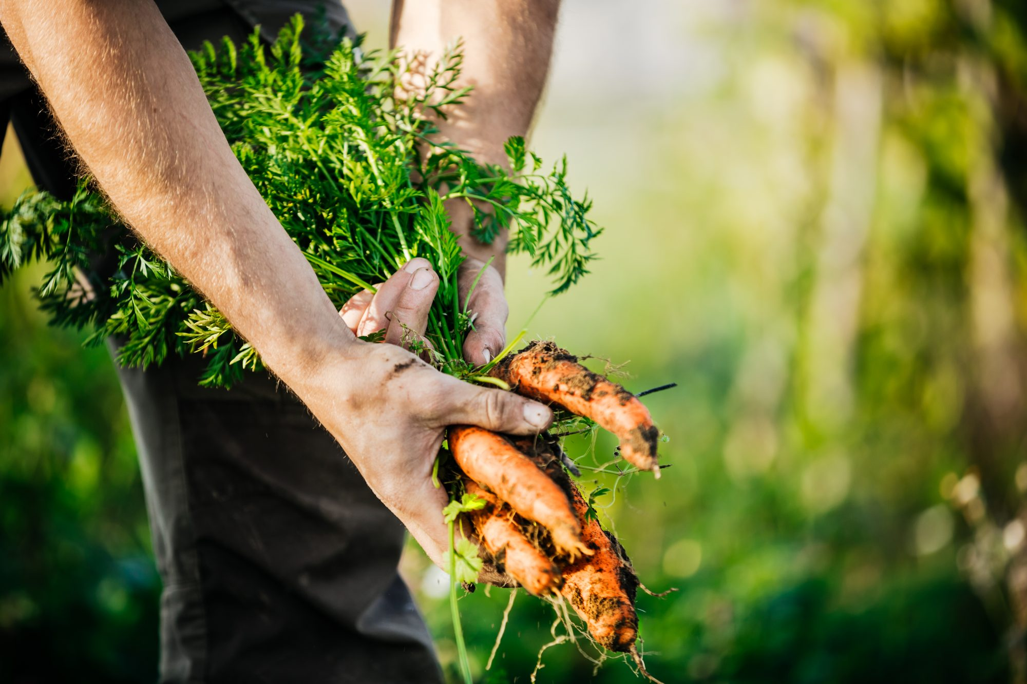 farmer pulling carrots out of the earth