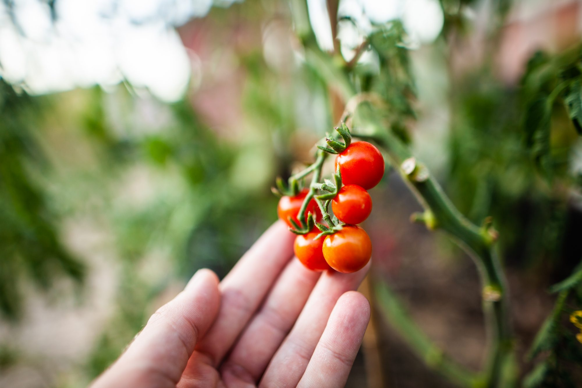 cherry tomatoes on a vine