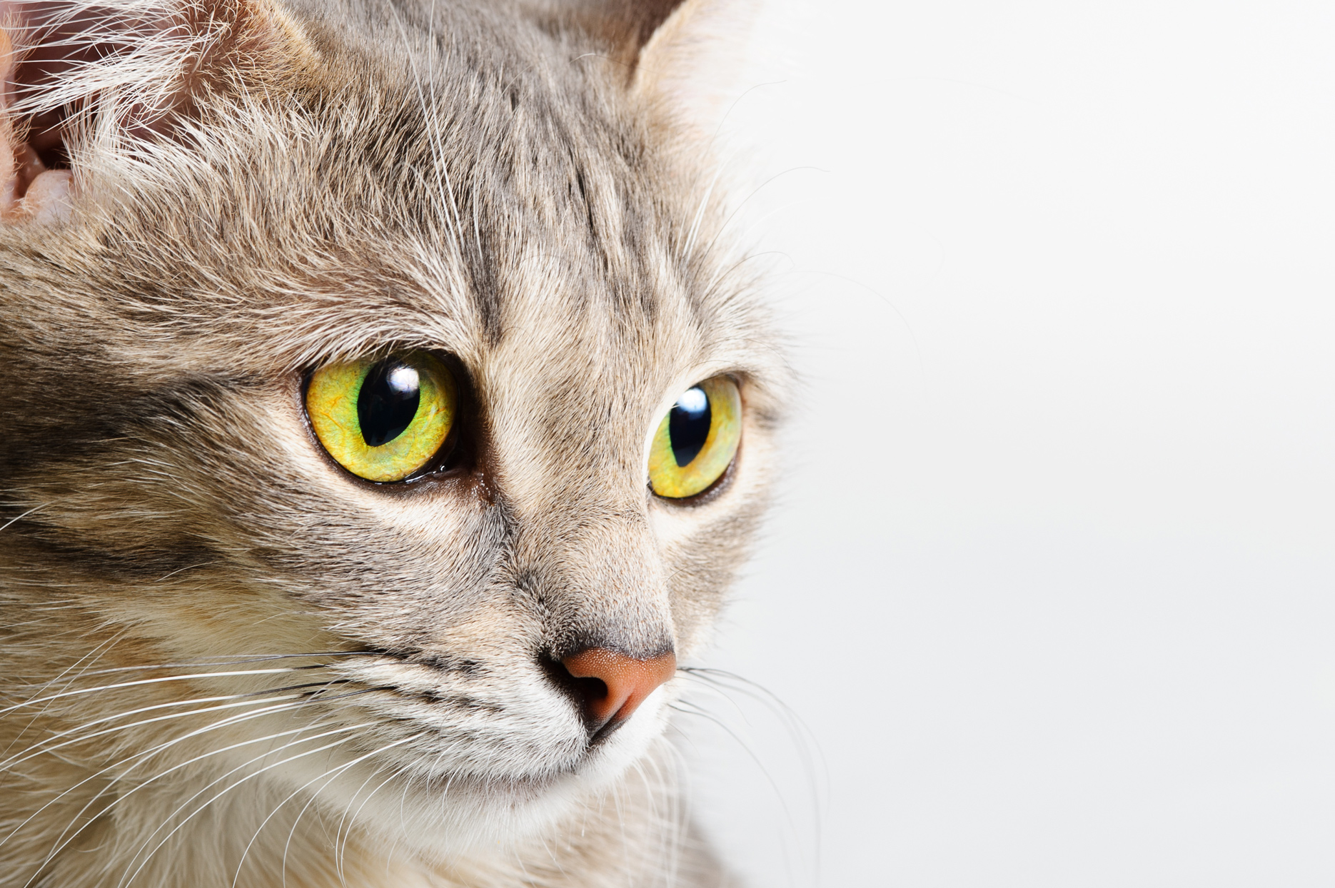 close up of cats face with yellow-green eyes
