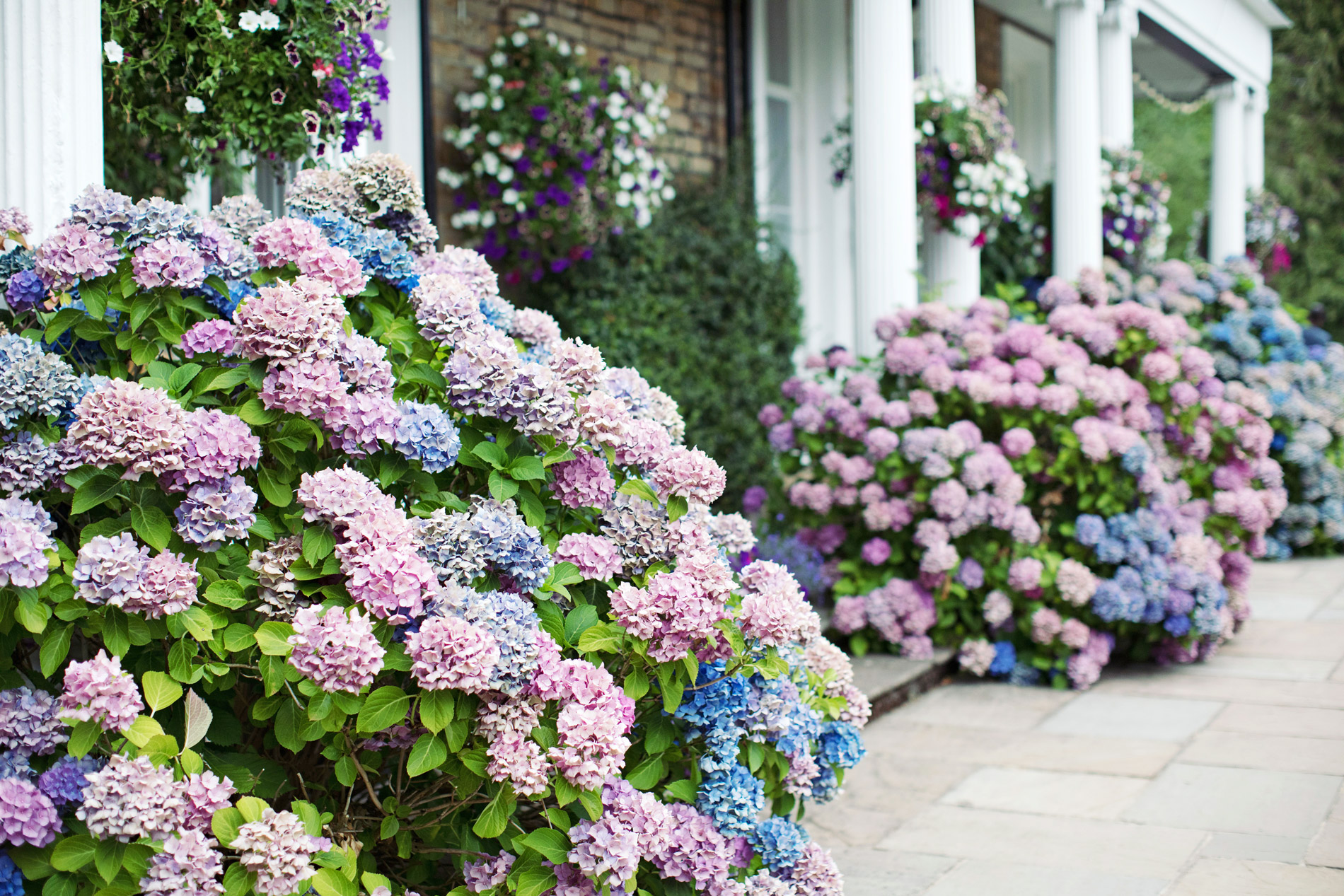 pink and blue hydrangeas along side of house