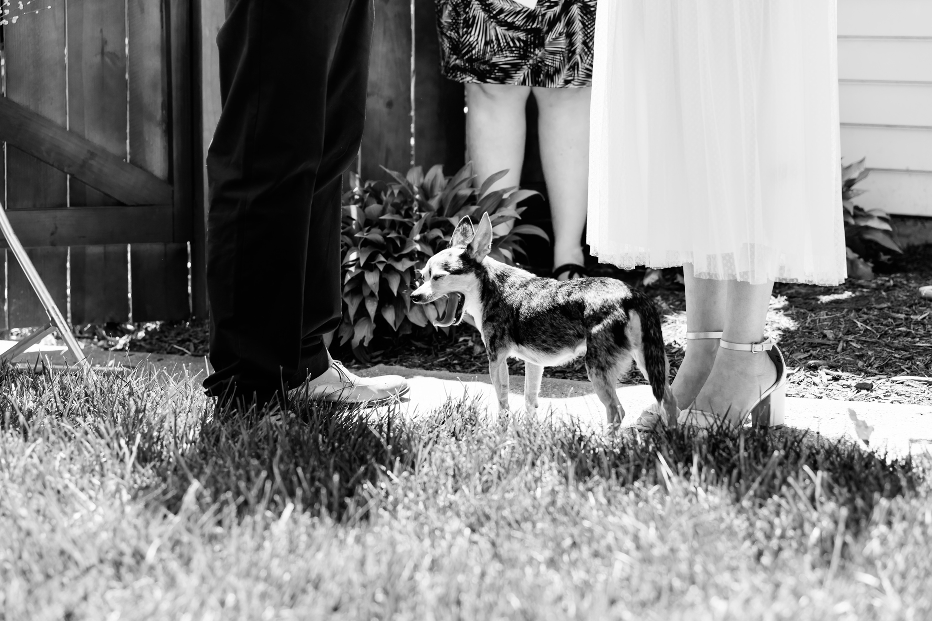 chiwawa yawing at bride and grooms feet during wedding ceremony