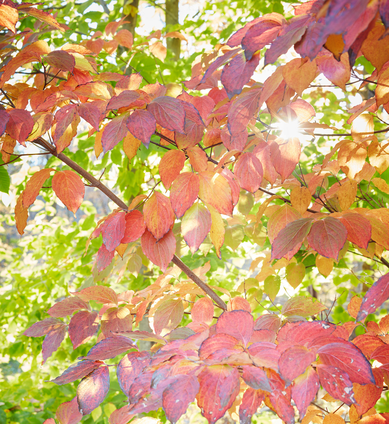 color changing leaves on tree