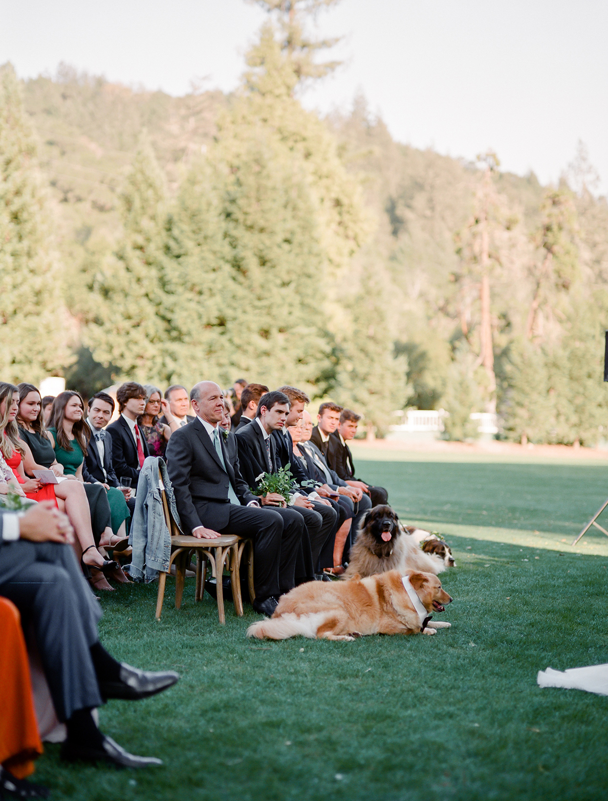 three large furry dogs laying in front of guests at wedding ceremony outside