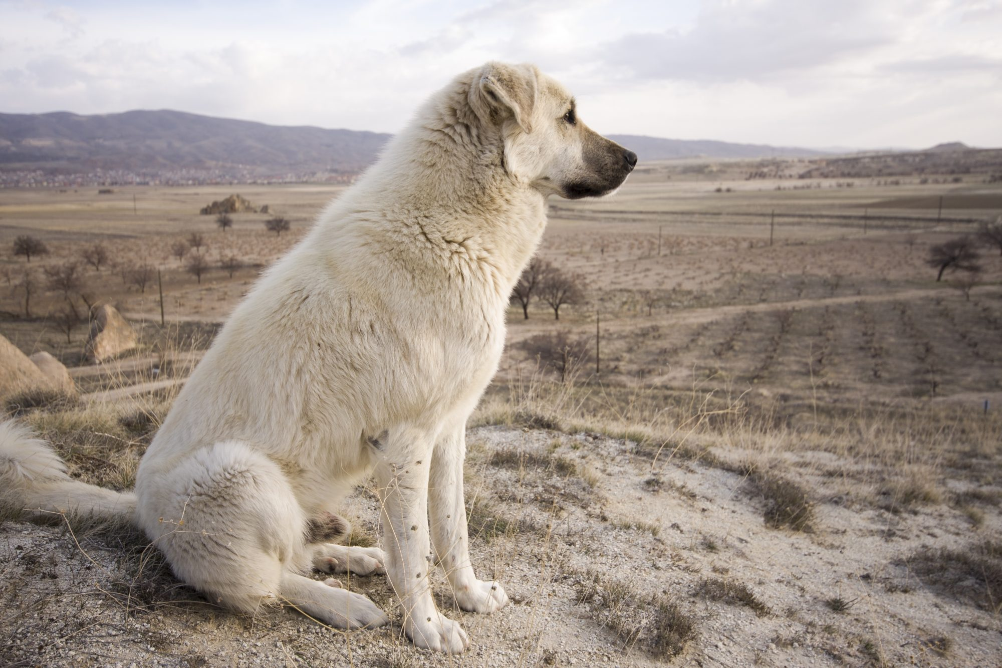 Chinook dog overlooking a field