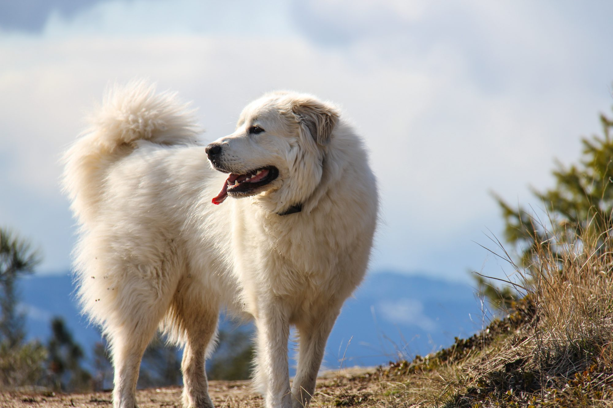 Great Pyrenees in the outdoors