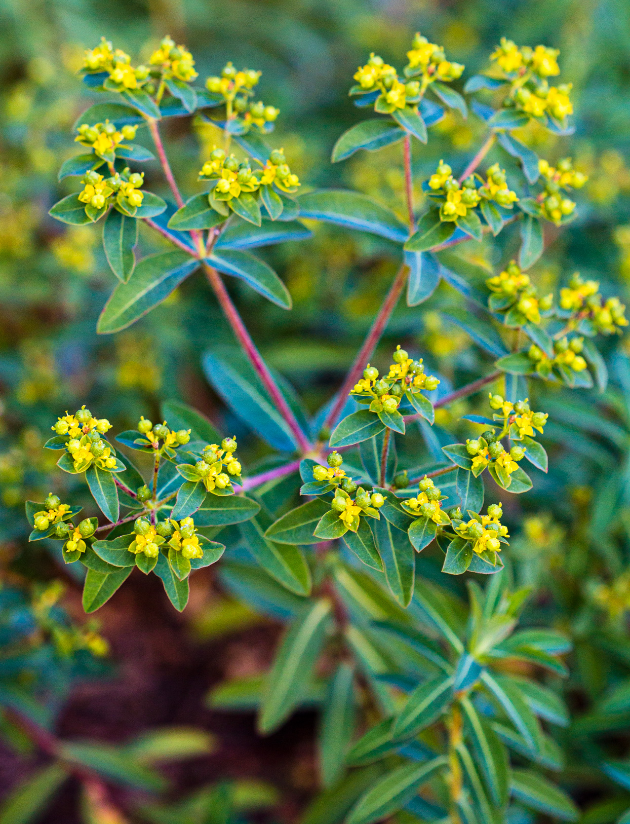 lime green leaves and small flowers of Euphorbia oblongata