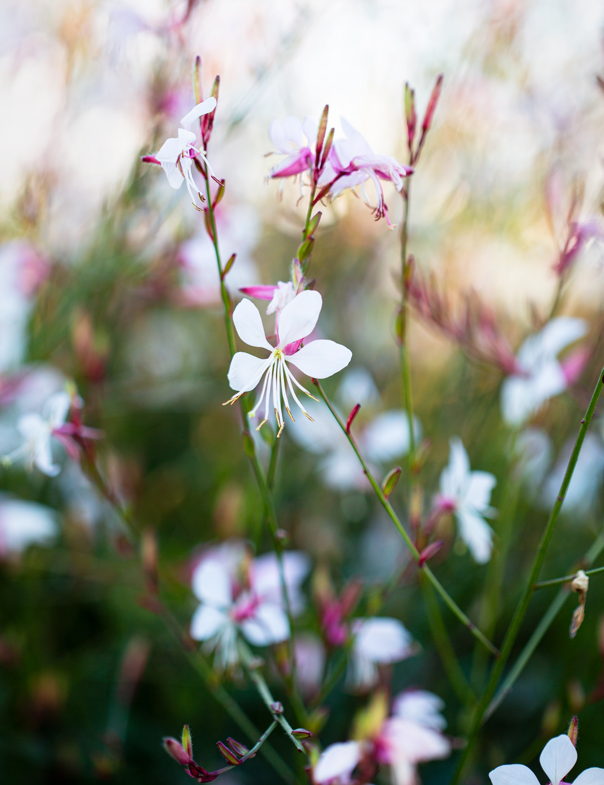 white flowers of the Gaura lindheimeri 'The Bride' plant