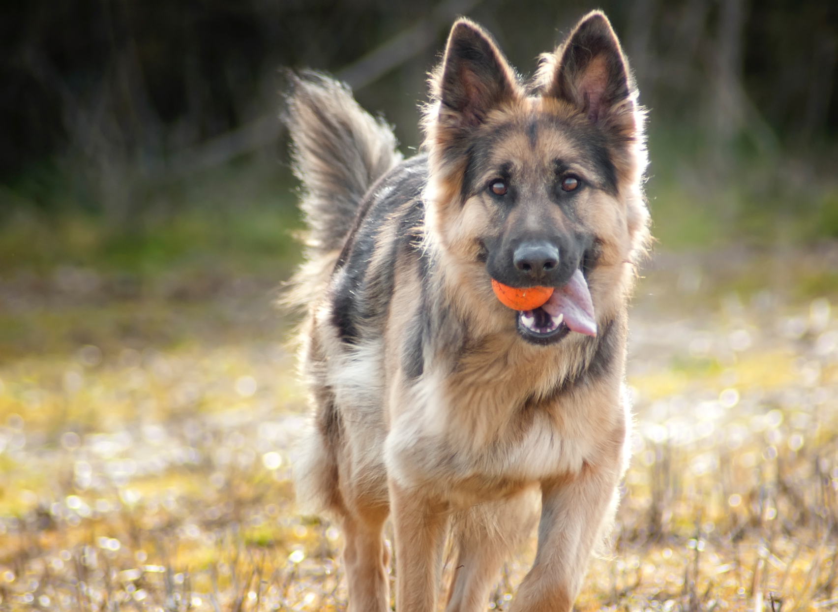 german shepherd dog with orange ball in their mouth outside