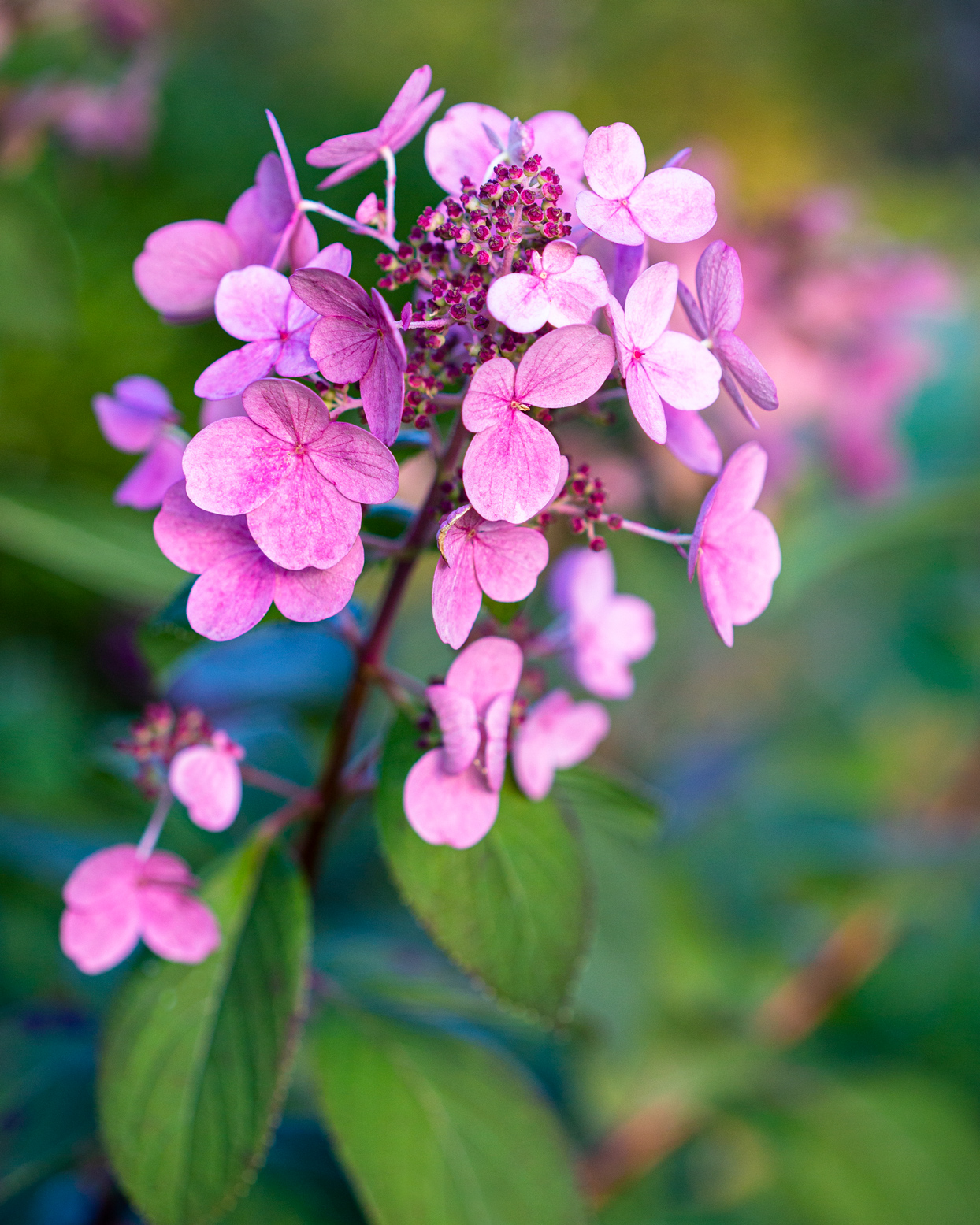 pink and pink 'quick fire' hydrangeas