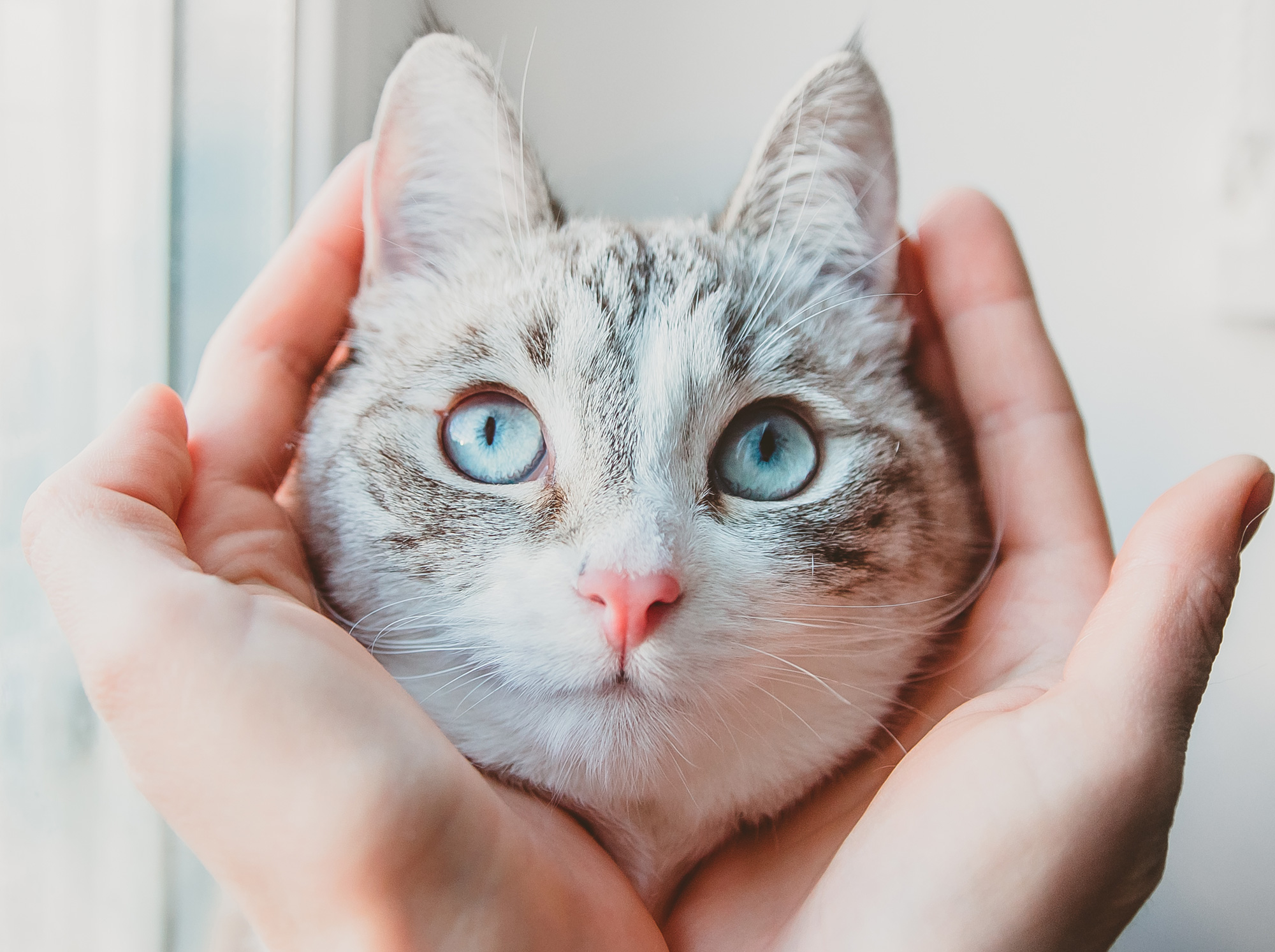 hands cradling a Siamese cat's face