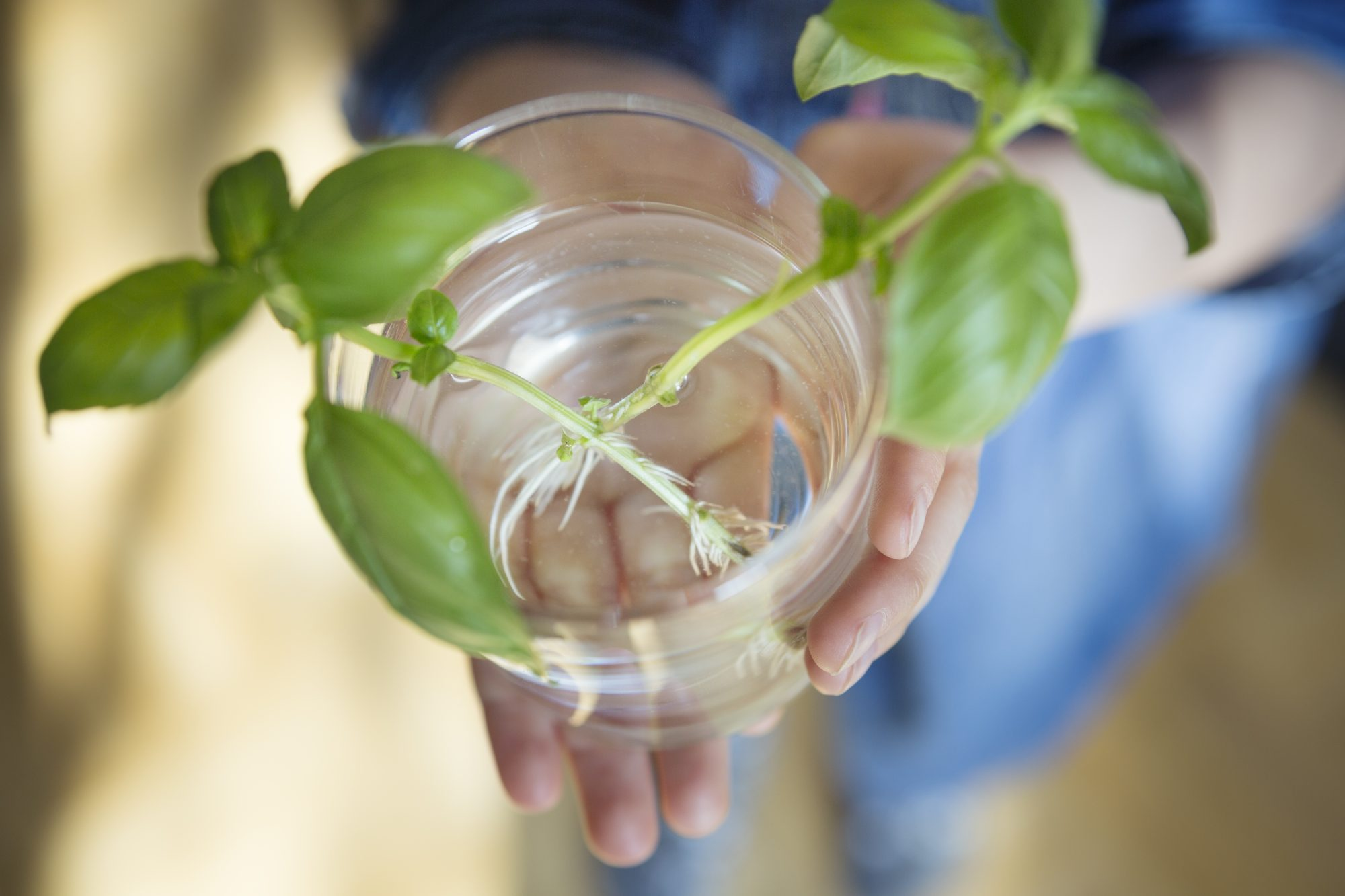 Basil plant being regrown from trimmed shoots in a water drinking glass held in a child's hands