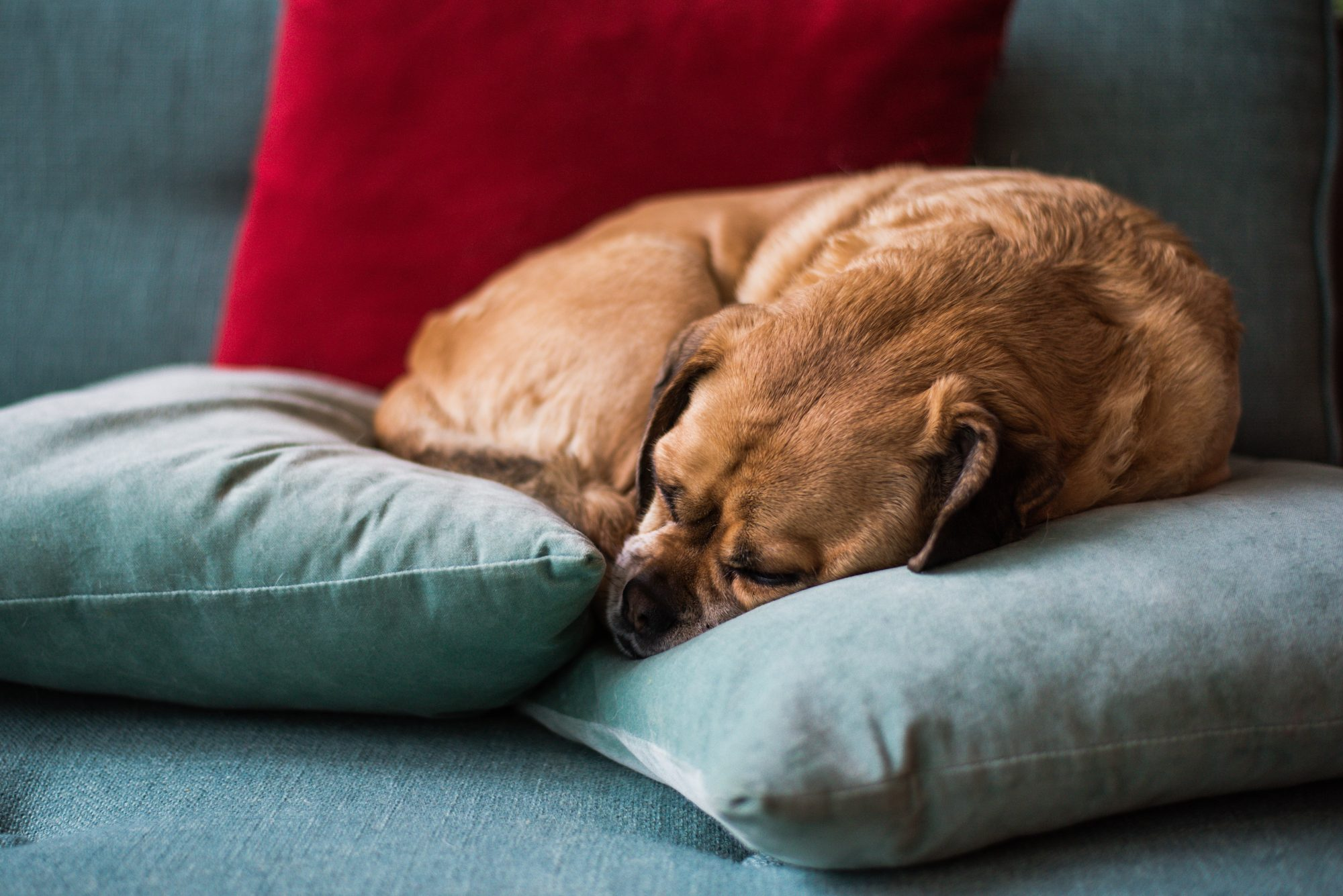 puggle dog sleeping on the couch