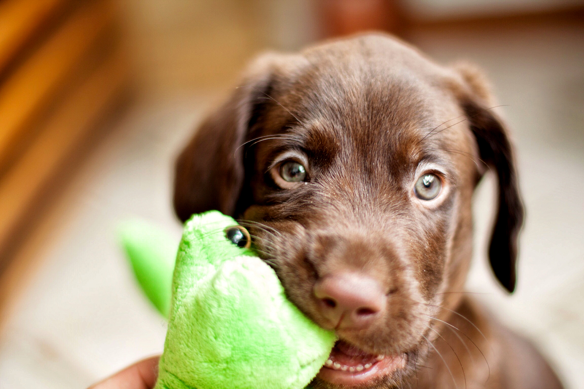 Chocolate Lab puppy chewing on a toy