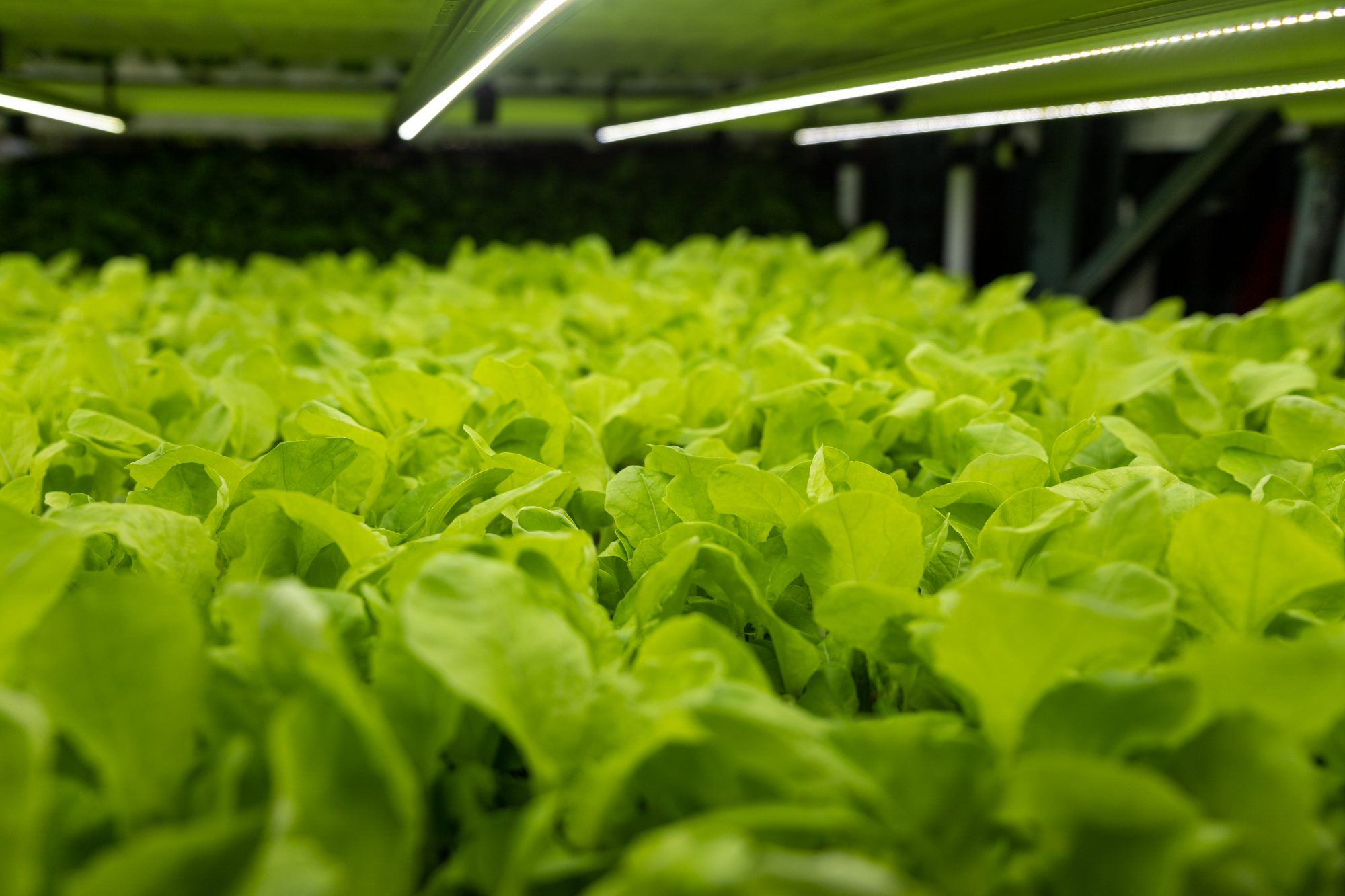 salad greens growing in a vertical farm