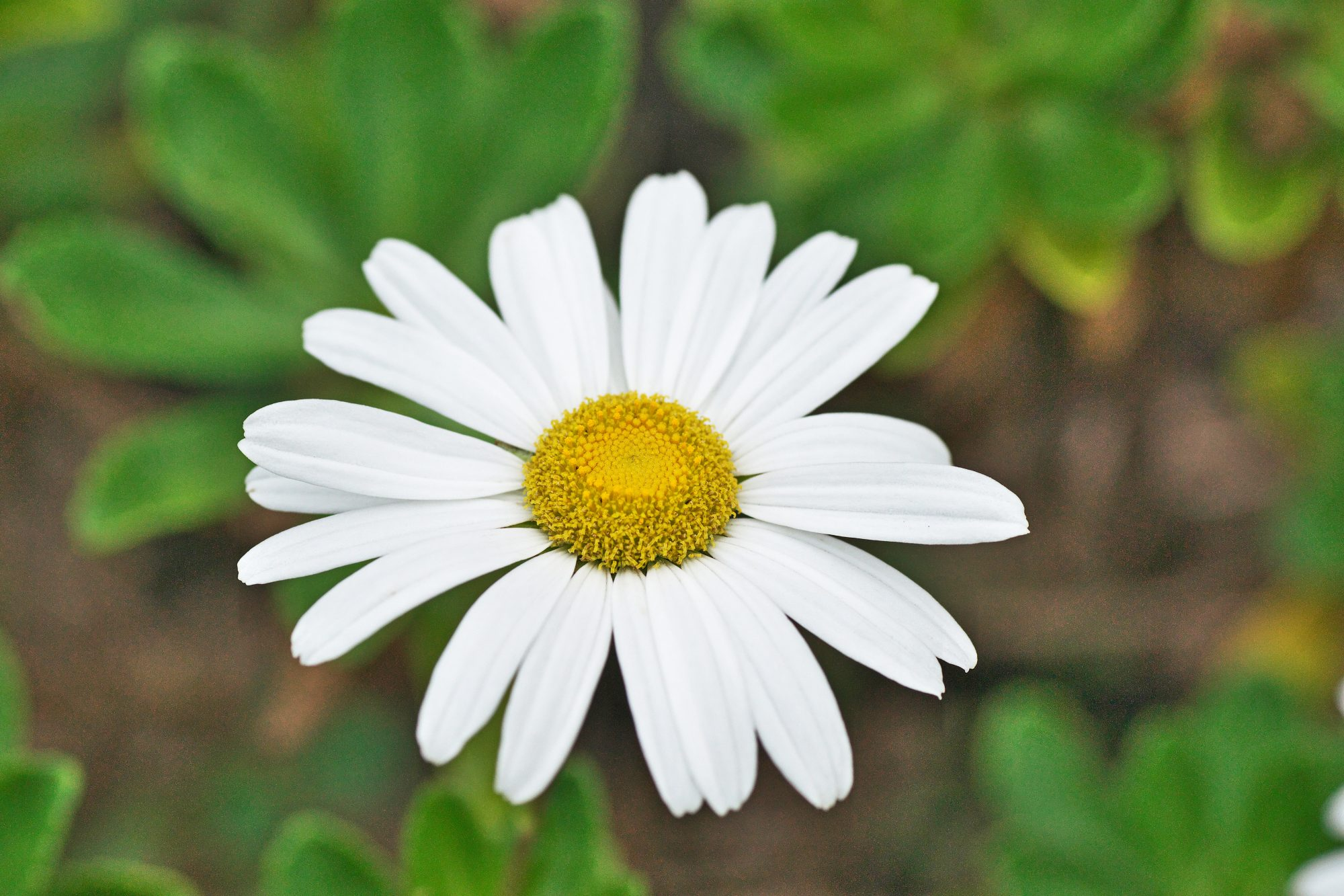 white montauk daisy close up