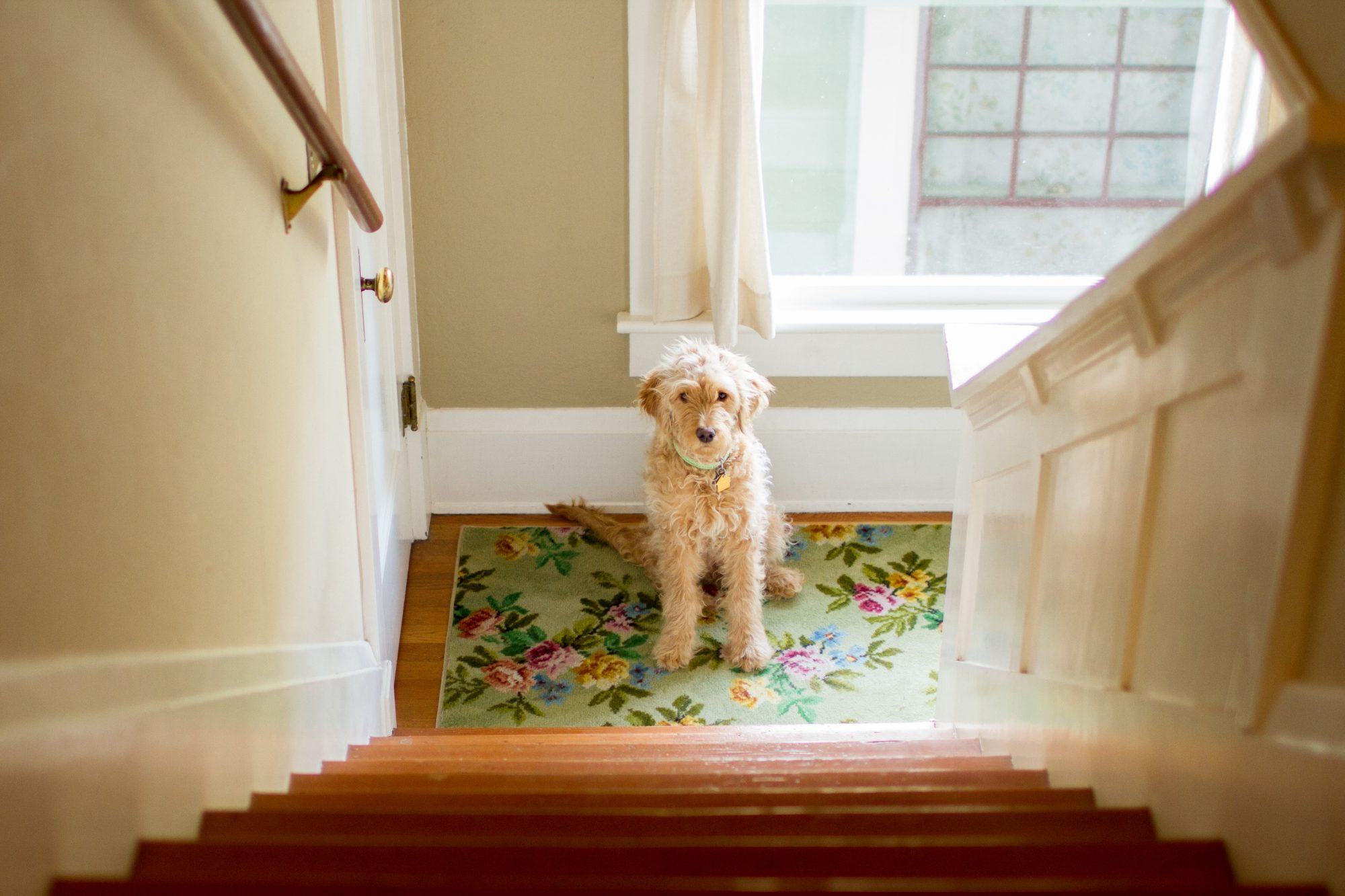 A goldendoodle dog looking at stairs