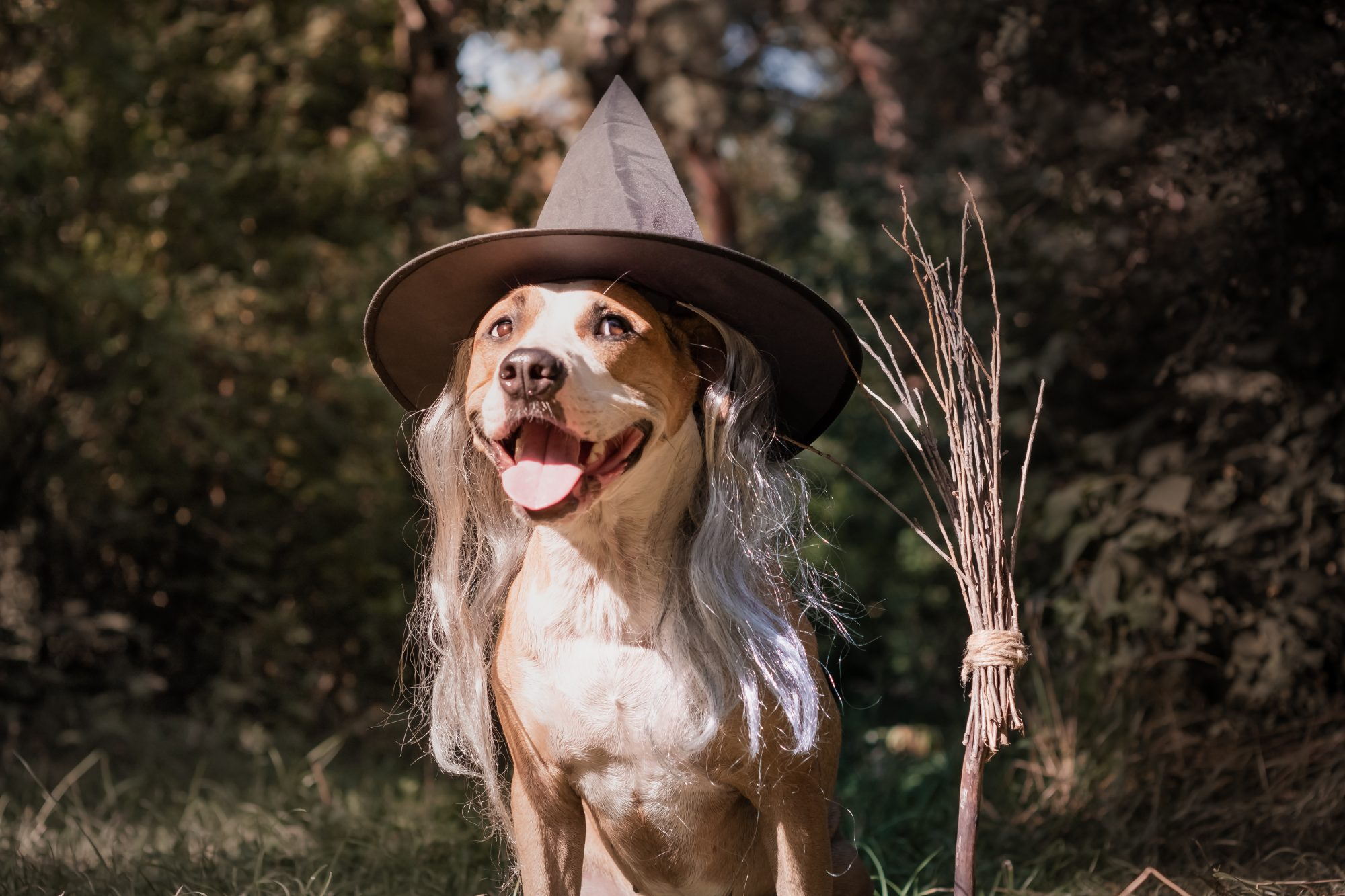 staffordshire terrier puppy with broomstick dressed up in witch costume for halloween