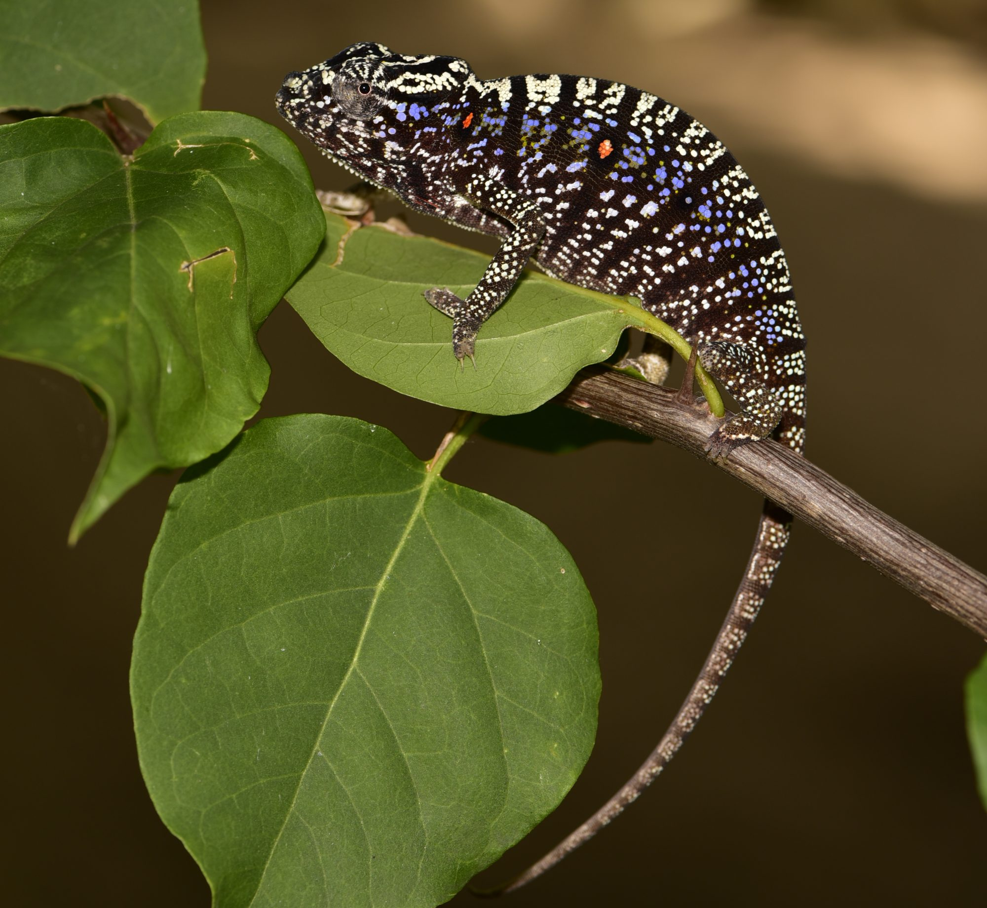 photo of female Voeltzkow's chameleon
