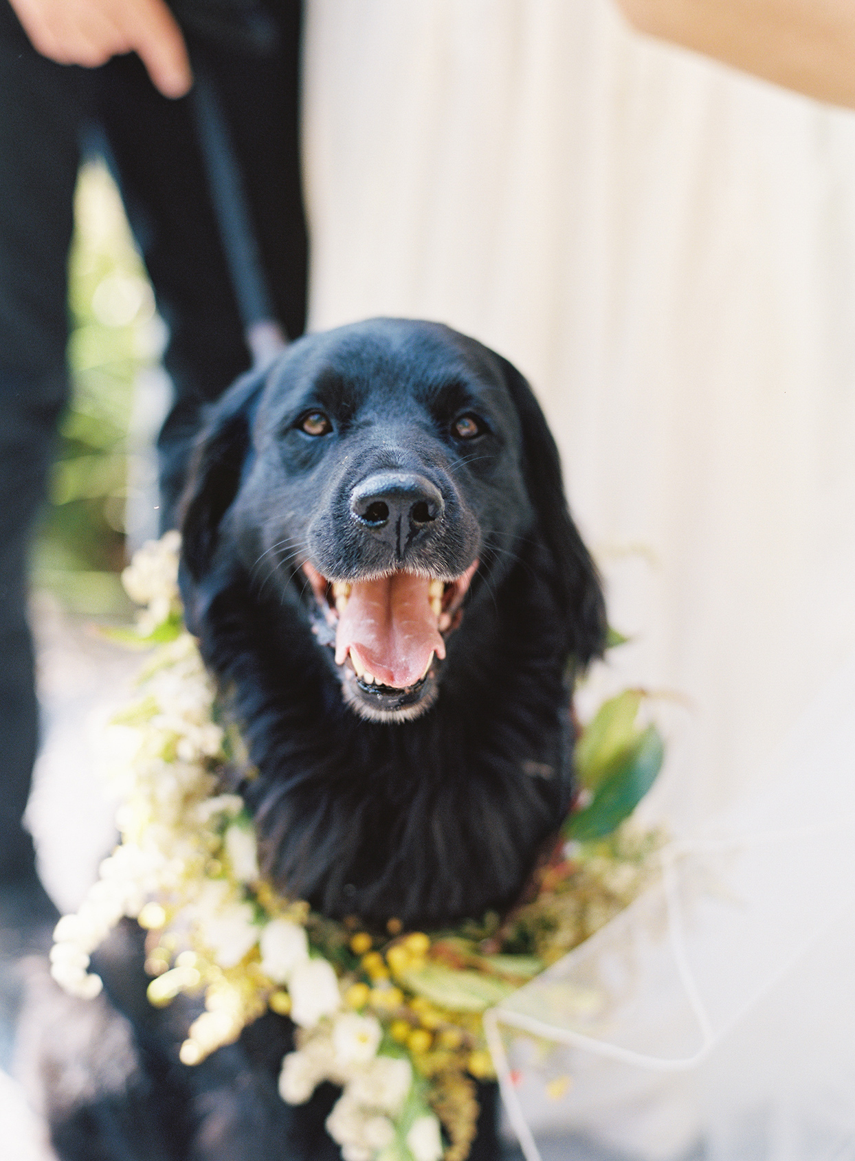 bride and grooms dog rocko wearing floral collar