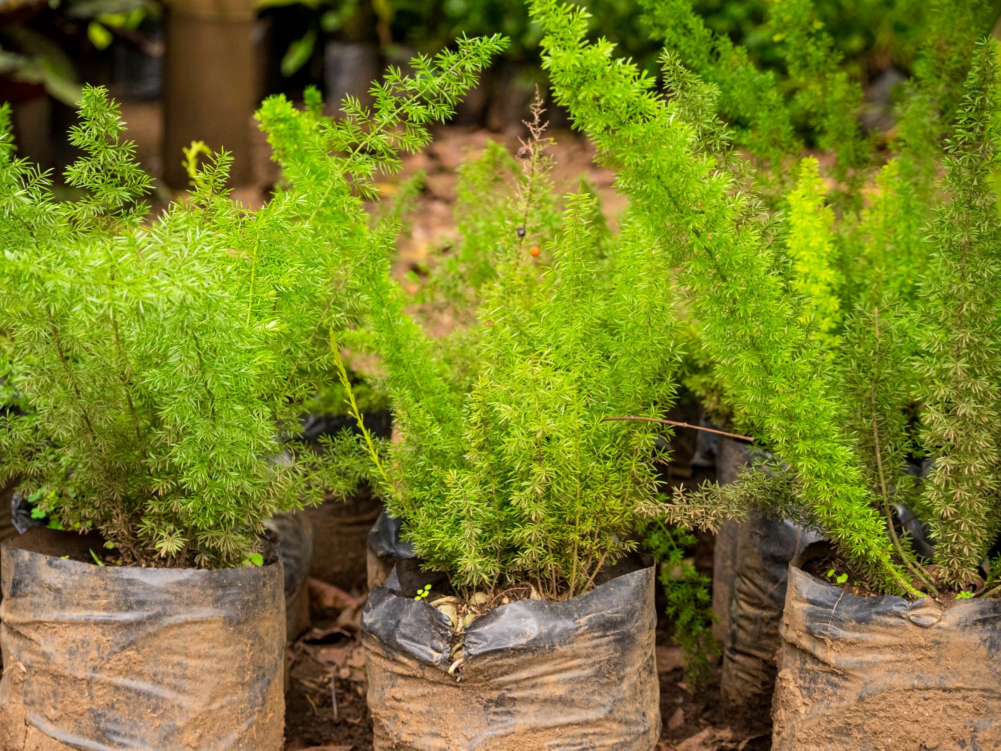 asparagus ferns wrapped in a garden center