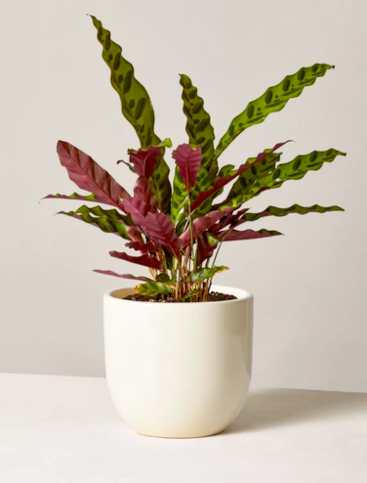The Sill Calathea Plant