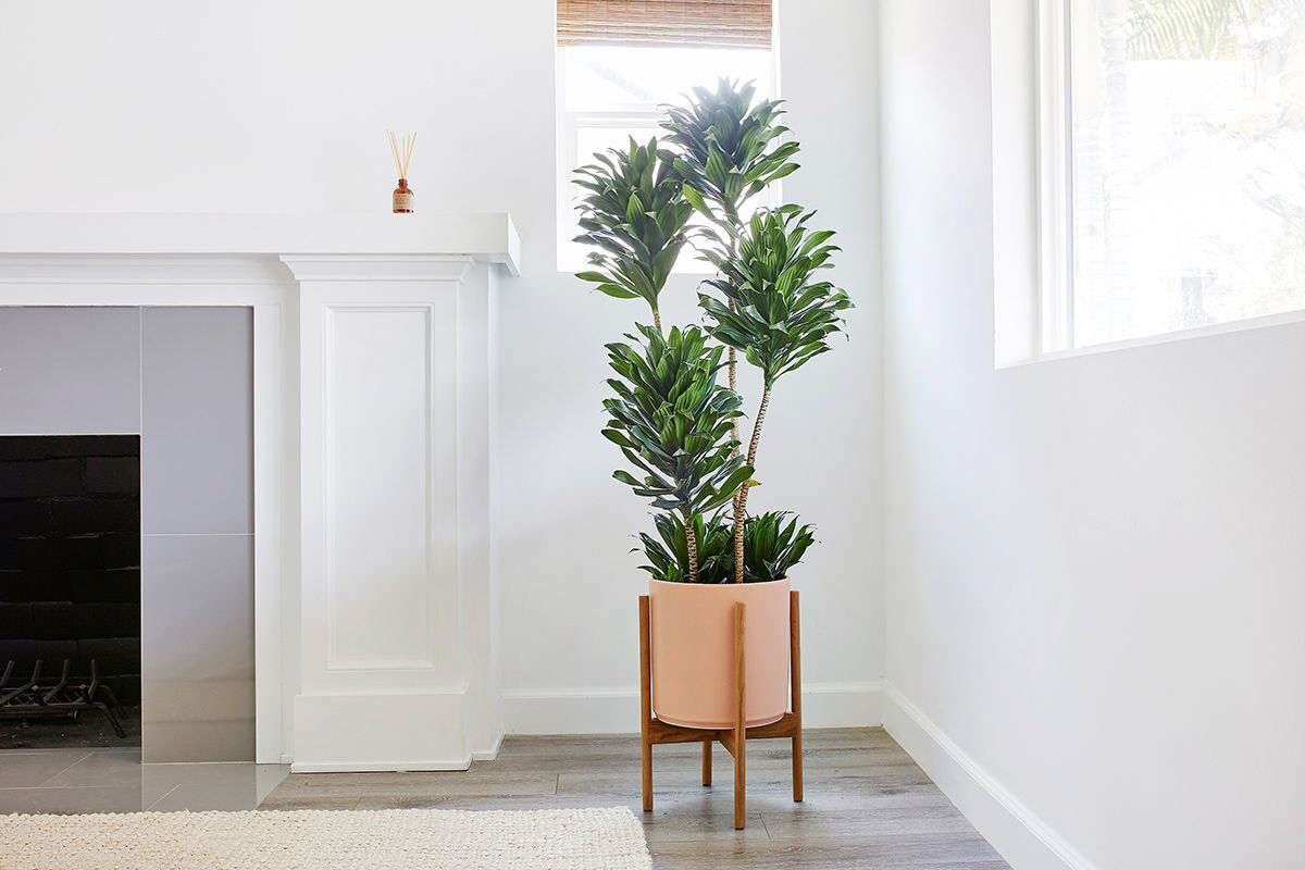Leon and George Dracaena Compacta Extra Large with Planter and Stand