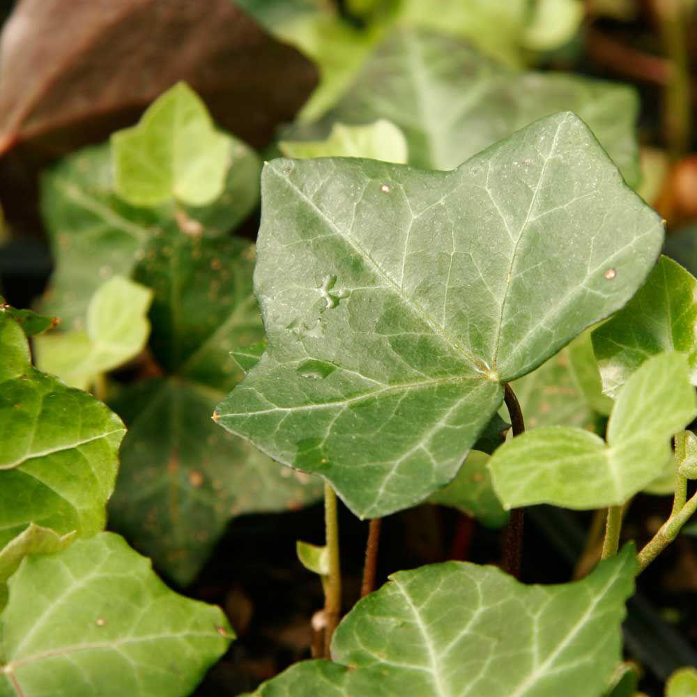 The Home Depot English Ivy