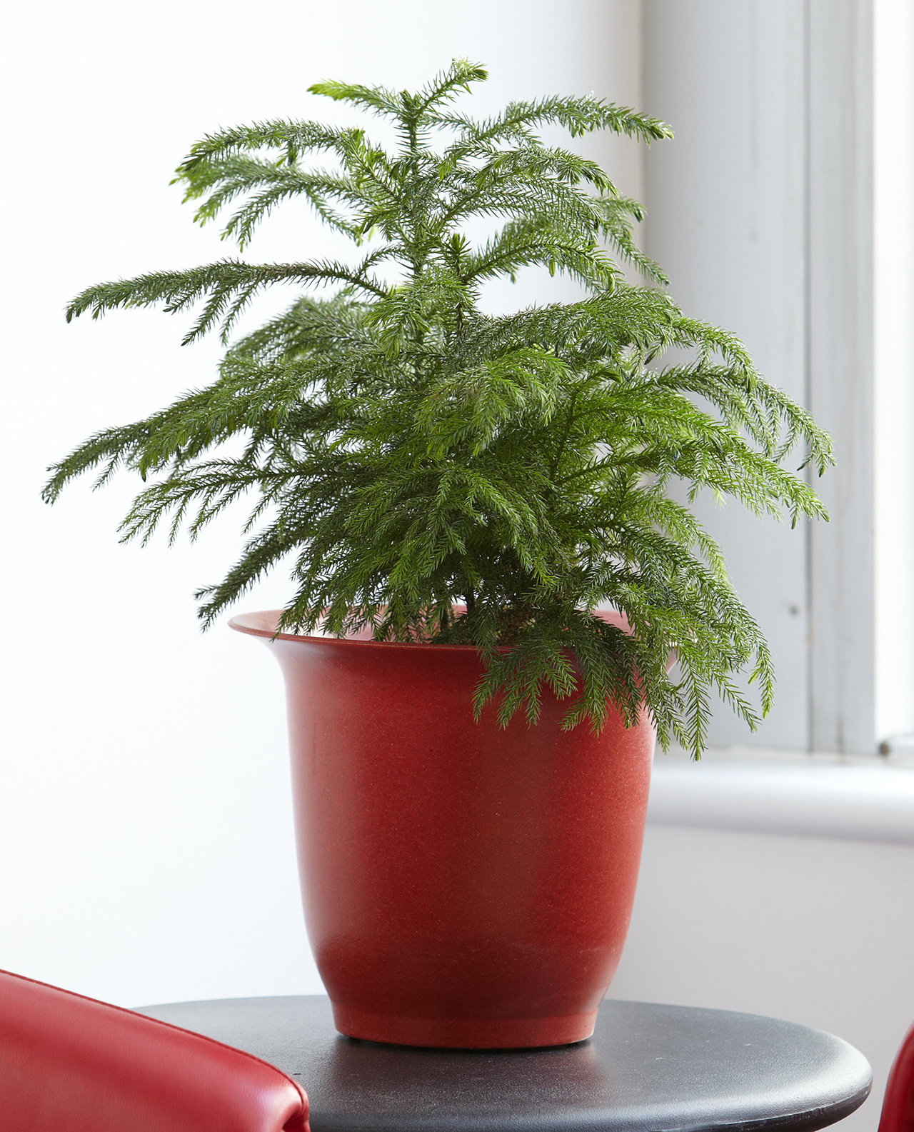 norfolk pine in red potter on table