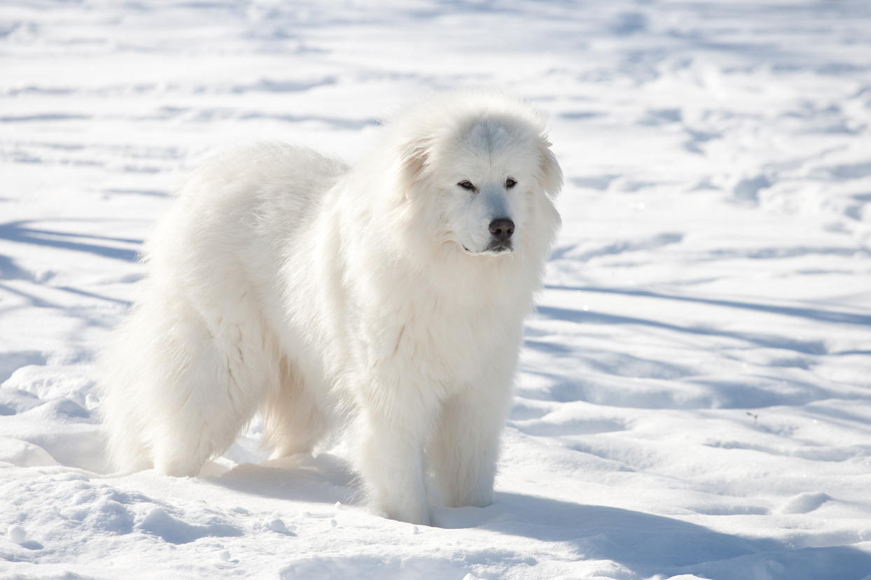 white great pyrenees dog in snow