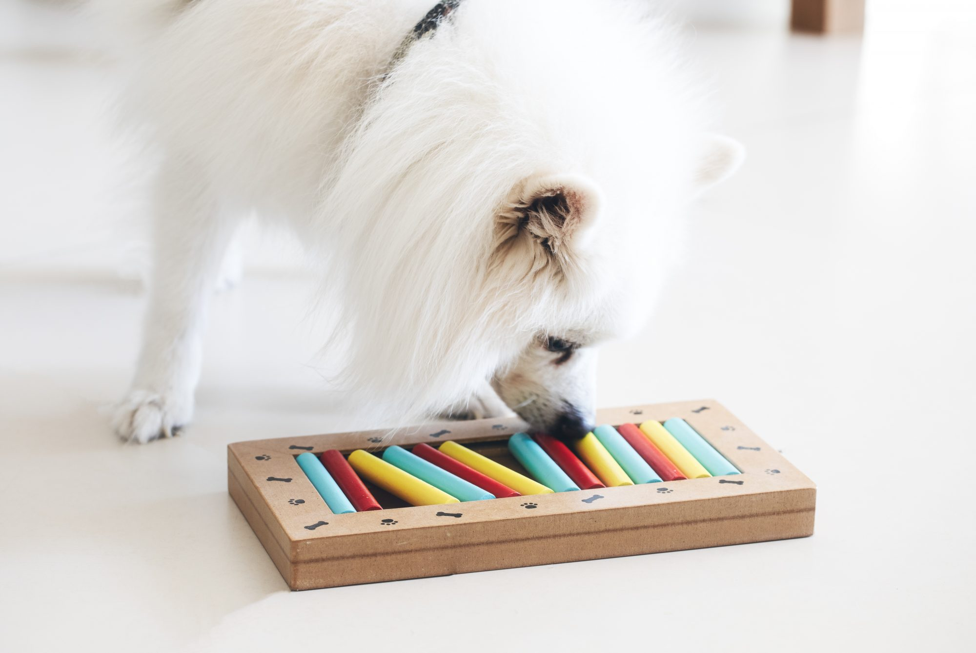American Eskimo Dog playing a training puzzle game