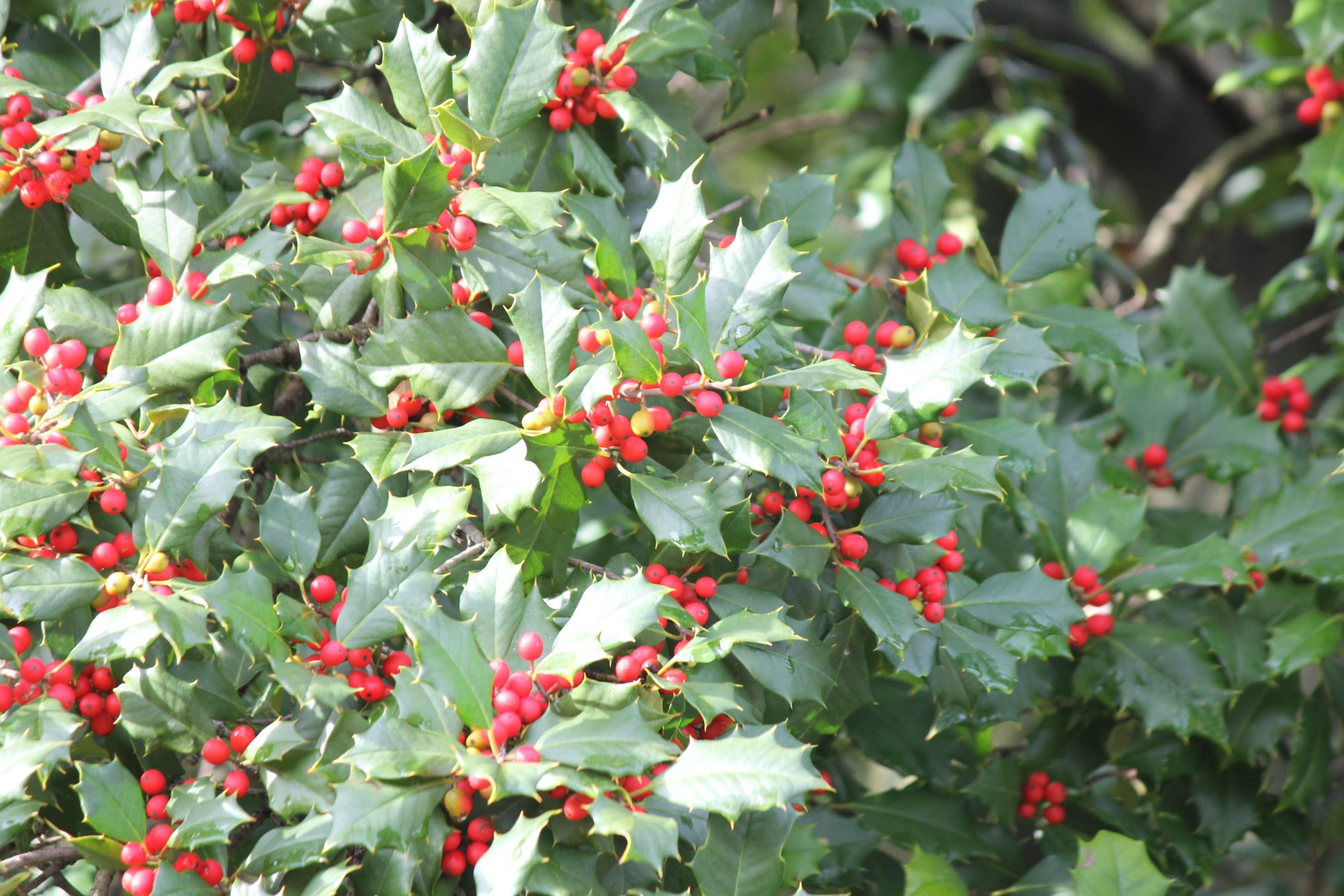 american holly tree with blooming red berries