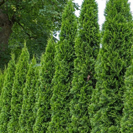 Backyard Plants That Add Privacy to Your Yard