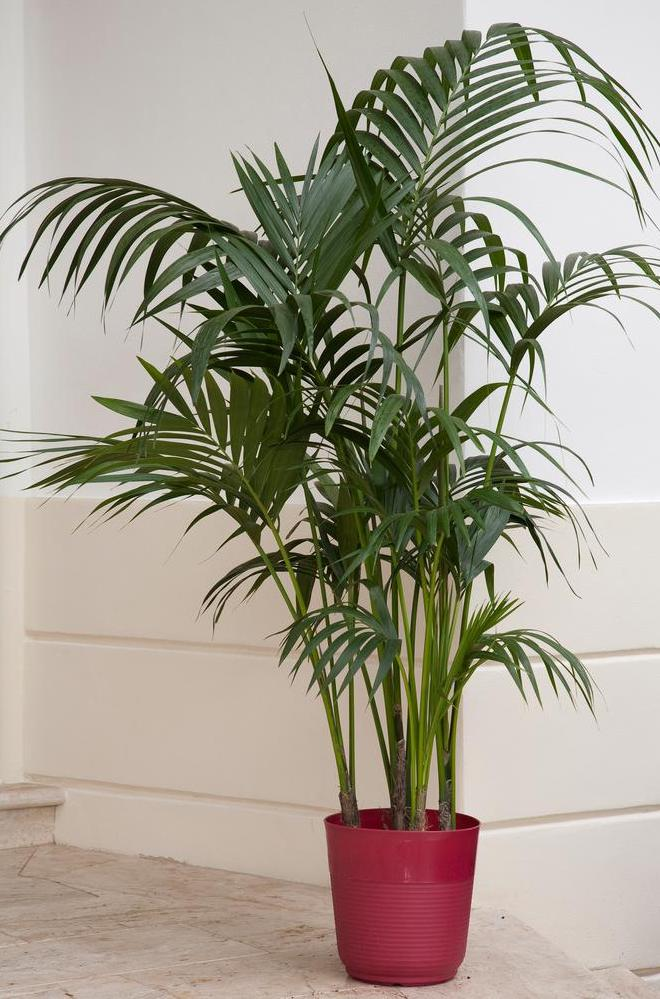 cat palm tree in red container