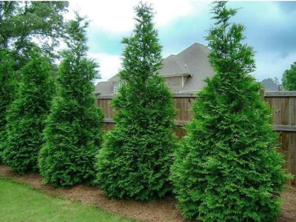 green gianta rborvitae trees lined up in a backyard