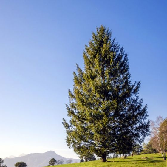 Norway spruce tree in yard with mountains in background